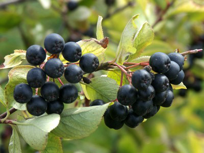 How to cultivate Aronia